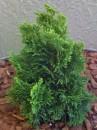Foto Arbusti rasinosi CHAMAECYPARIS OBTUSA `NANA GRACILIS` ghiveci de 7 litri,  h=25-30 cm