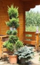 Foto Arbusti  forme tunse PAMPON / CUPRESSOCYPARIS LEYLANDII ghiveci 35 litri, h=160-180cm