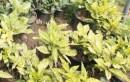 Foto Arbust frunze persistente AUCUBA JAPONICA 'CROTONIFOLIA' ghiveci 3-4 litri, h=30-40cm