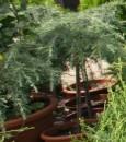 Foto Arbusti rasinosi CEDRU DEODORA `FEELING BLUE`/ UMBRELA ghiveci de 7 litri, h= 55cm, diam=40-50 cm