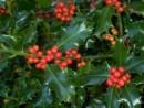Arbust frunze persistente Ilex auifolium Alaska (ilex)