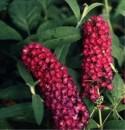 Arbusti gradina frunze cazatoare Buddleja davidii Royal Red