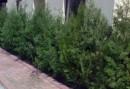 Arbusti rasinosi THUJA ORIENTALIS` BIOTA`