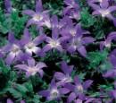 Flori de gradina perene Campanula poscharskyana