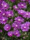 Flori de gradina perene DELOSPERMA COOPERI