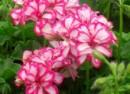 Plante de balcon muscate curgatoare cu floare dubla satirat alb -rosu (Pelargonium peltatum)