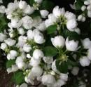 Arbusti gradina Philadelphus`Virginal`(iasomie cu flori duble