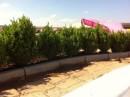 Foto Arbusti evergreen BUXUS SEMPERVIRENS (cimisir sau merisor), ghivece 18 litri, h= 50-60 cm pt garduri vii