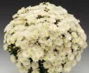 CHRYSANTHEMUM BRANBEACH WHITE/CRIANTEMA
