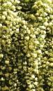 Foto Trandafiri urcatori `Lutea ' planta formata cu radacina h=0.4-0.6m in ghiveci de 3.5 litri