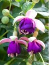 Fuchsia hybrida `Pink Ballet Girls