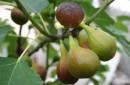 Foto Smochin Ficus Carica `Albo` arbust ramificat la ghiveci h=1m