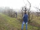 Foto Taiere de regenerare pomi fructiferi foarte mari (inaltime peste 4 metri)