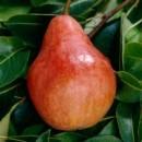 Foto Peri soiul Williams rosu. Pomi puieti fructiferi altoiti.