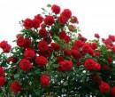 Foto TRANDAFIRI URCATORI h=2.5m planta la ghiveci de 5 litri, flori rosii