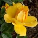 Foto Trandafiri pitici de gradina, Limesgold, (galben), plante in ghiveci de 2  litri
