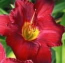 Foto Flori perene HEMEROCALIS 'Siloam Show' ghivece de 3 litri
