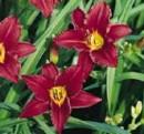 Flori perene HEMEROCALIS 'Pardon Me' ghivece de 3 litri