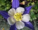 AQUILEGIA HYBRIDA 'Blue Star' | id 3814