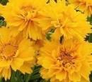 Foto Flori de gradina  perene COREOPSIS/ COREOPSIS GRANDIFLORA  'EARLY SUNRISE'