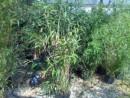 Foto Ierburi graminee decorative Bambusa Phyllostachys 'Aurea' h=1.75-2 m  ,ghiveci 18 litri