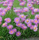 lori de gradina perene Aster alpinus `Happy End`