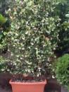 Planta parfumata cataratoare Rhinocospermum jasminoides (jasminum) jardiniera 40 cm/ 28 cm , h =175/200 cm