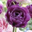 Bulbi de lalele Duble tarzii, Blue Diamond, 7buc/punga flori albastre-mov, batute