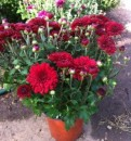 Flori de gradina perene CHRYSANTHEMUM /CRIZANTEMA culoare galbena