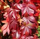 Plante urcatoare vita canadiana Ampelopsis quinquefolia (sin. Parthenocissus quinquefolia) ghiveci 12 litri, h=250-300 cm