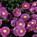 Flori de gradina perene Aster Novi-Belgii 'Sarah Ballard' (aster, steluta, ochiul boului de munte)