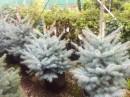 Foto Arbori rasinosi PICEA PUNGENS 'EDITH' / MOLID ARGINTIU, h-80-100 cm