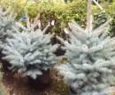 Foto Arbori rasinosi PICEA PUNGENS Edith/ MOLID ARGINTIU, H- 100-125 CM
