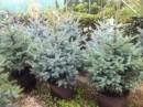 Foto Arbori rasinosi PICEA PUNGENS Edith/ MOLID ARGINTIU, H=125-150 cm