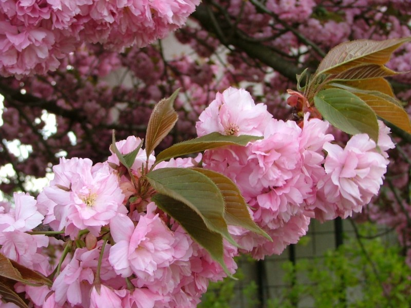 Prunus serrulata Kiku -Shidare-Sakura`