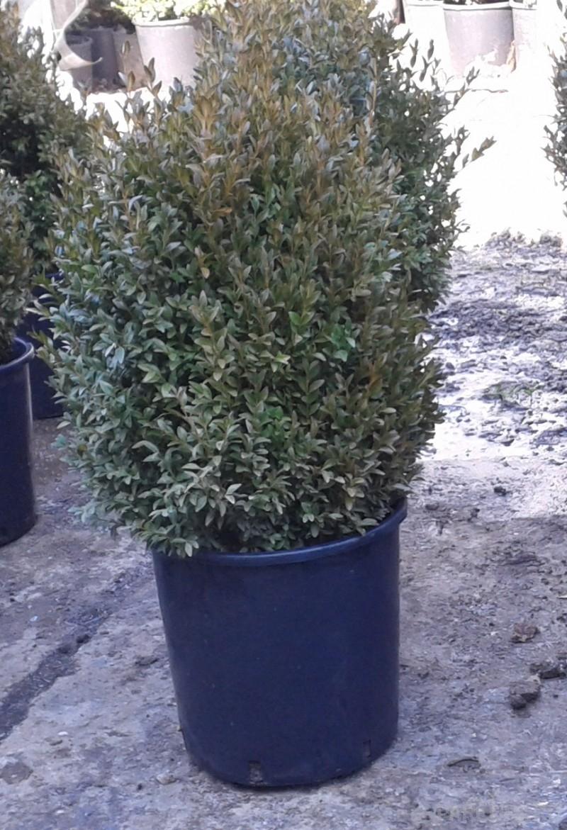 Buxus sempervirens -iarna