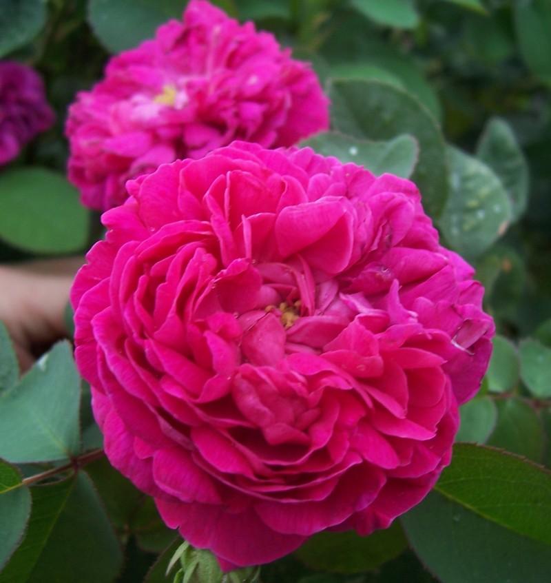 Trandafiri de dulceata cu radacina, Rose de Rescht. Poza 9842
