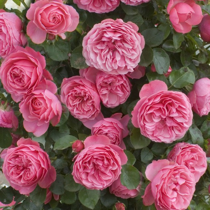 Butasi de trandafiri de gradina Polyantha cu radacina Leonardo Da Vinci. Poza 8984