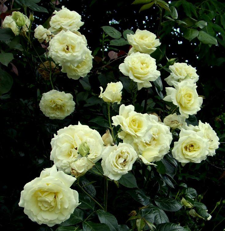 Trandafiri agatatori cataratori de gradina cu radacini Elfe. Poza 9834