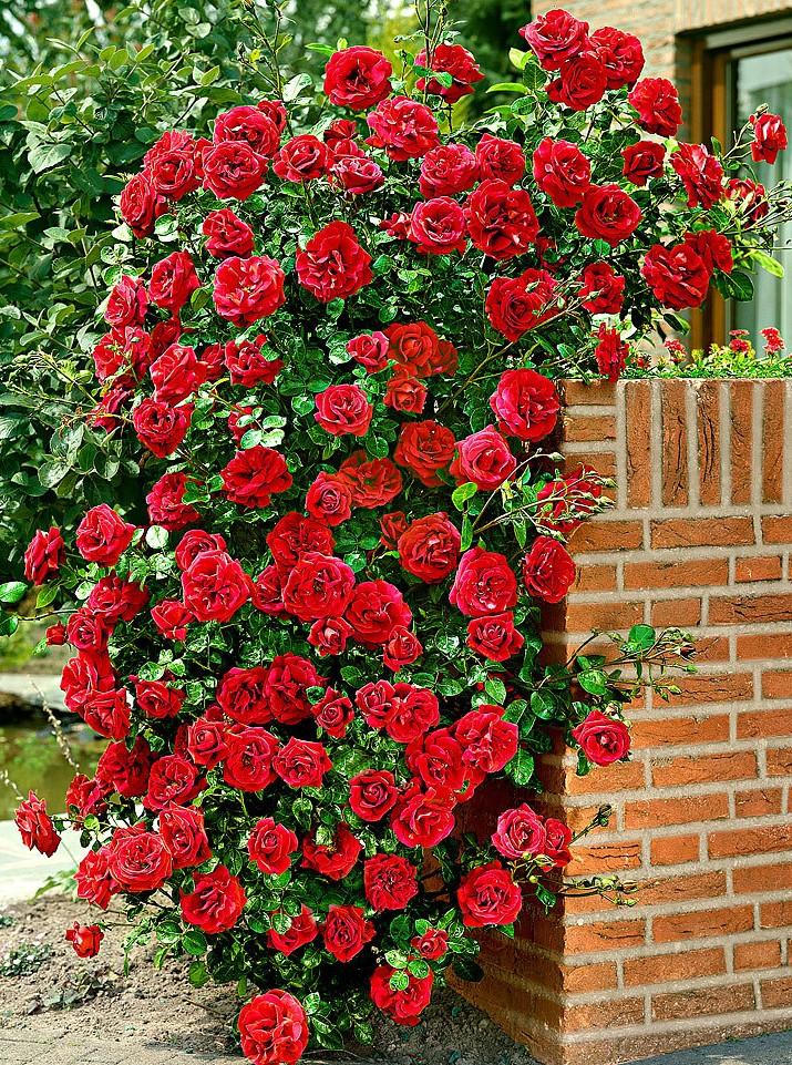 Trandafiri agatatori de gradina urcatori cu radacina Santana. Poza 9835