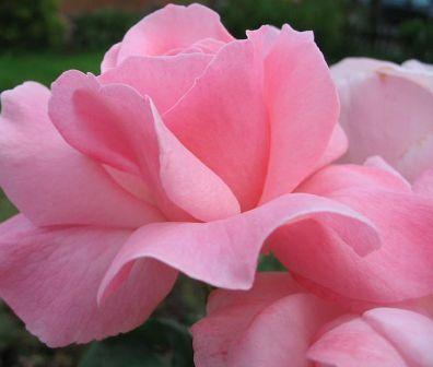 Trandafiri de gradina Polyantha cu radacina Elisabet Queen