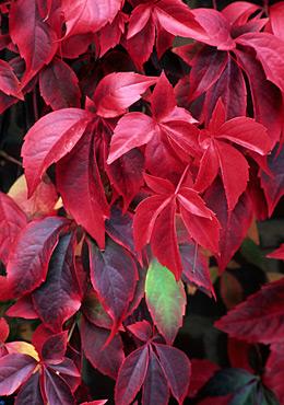 Plante urcatoare Parthenocissus quinquefolia