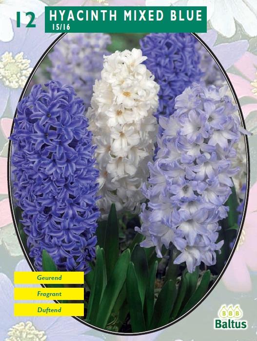 Bulbi de zambile, Mixed Blue 12 buc/punga, nuante diferite de albastru. Poza 10545