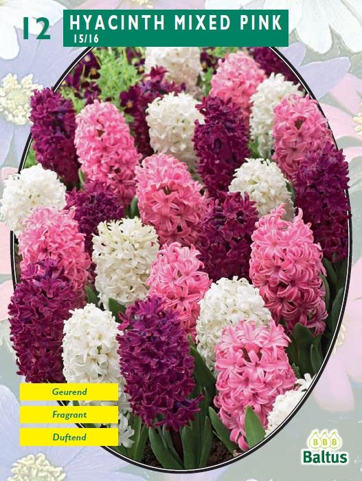 Bulbi de zambile, Mixed Pink 12 buc/punga, nuante diferite de roz. Poza 10547