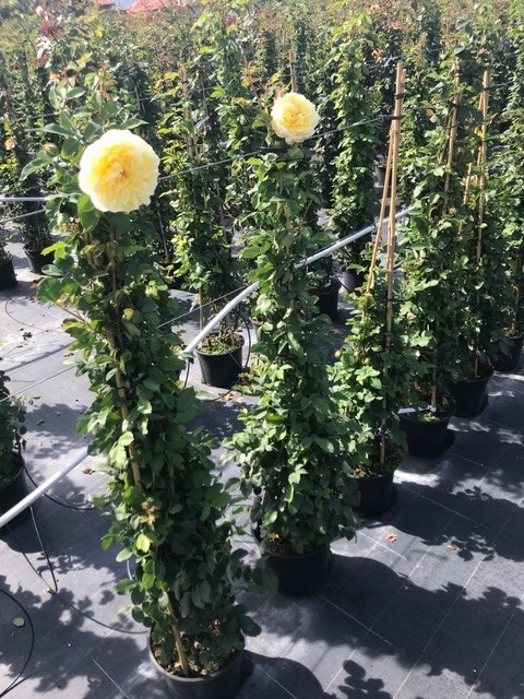 Trandafiri urcatori  `Golden ` la ghiveci de 5 litri h=1,5m. Poza 10674