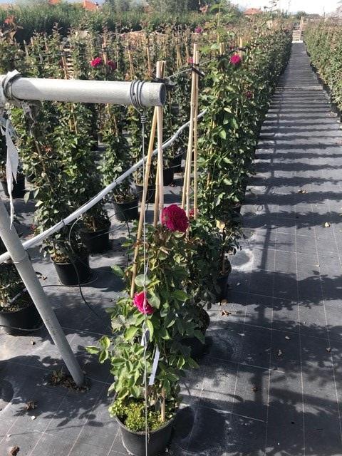 Trandafiri urcatori  `Ciclamen` la ghiveci de 5 litri h=1,5m. Poza 10676