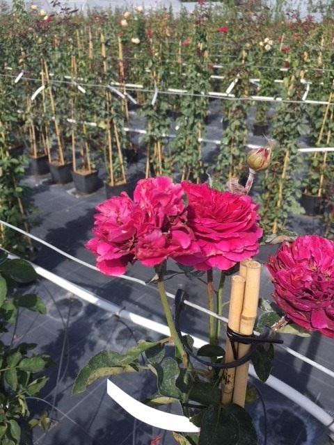 Trandafiri urcatori  `Ciclamen` la ghiveci de 5 litri h=1,5m. Poza 10677