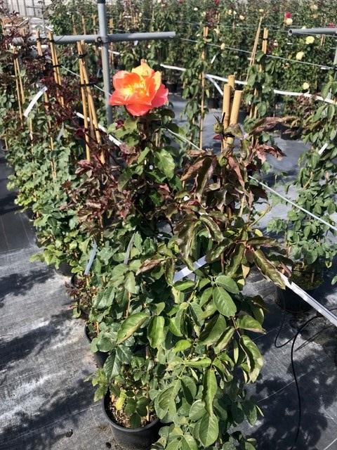 Trandafiri urcatori  `Orange ` la ghiveci de 5 litri h=1,5m. Poza 10679