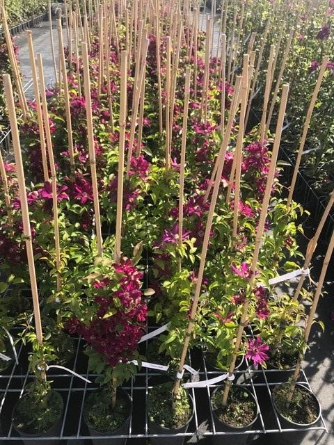 Plante agatatoare Mazowsze ` ghiveci `2 litri, h=100 -125 cm. Poza 10712