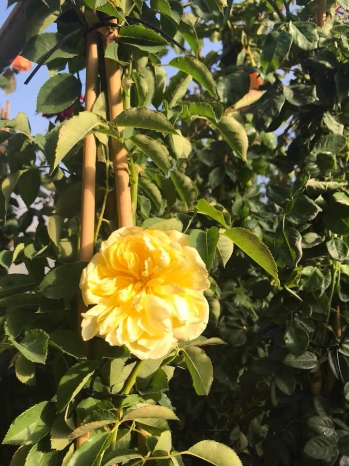 Trandafiri urcatori  `Golden ` la ghiveci de 5 litri h=1,5m. Poza 10716